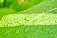 Water drops leaf Water drops on green leaf Stock Photography