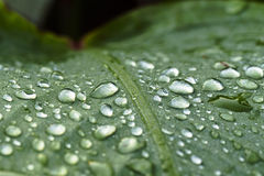 Water drops. On a leah Stock Photography