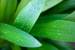 Water drops on leaves Royalty Free Stock Photos