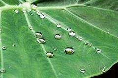 Water drops on the leaves. Water drops on a plant leaf in rain season Royalty Free Stock Image