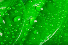 Water drops on the leaves Stock Images