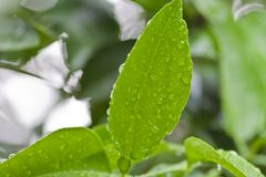 Water drops on leaves Royalty Free Stock Photography