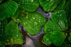 Water Drops on Leaves in Coy Pond Stock Images