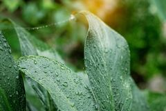 Drops on leaves after rain. Water drops on leaves and the dampness after rain Stock Photos