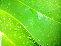 Water drops. On leaves glazing in sunlight royalty free stock photo
