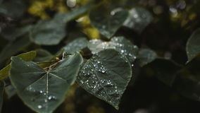 Water drops on leaves. stock video