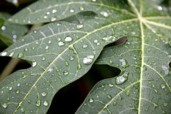 Water drops on the leaves of papaya. Royalty Free Stock Photo