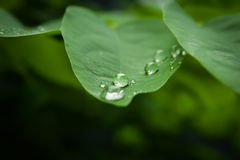 Water drops on leaves. Royalty Free Stock Photography