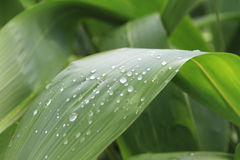 Water drops on lemongrass leaves Royalty Free Stock Images