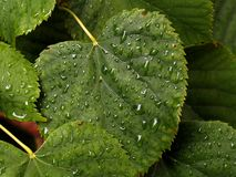 Water drops on the linden leaf Stock Photo