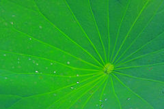 Water drops on lotus leaf Royalty Free Stock Images