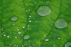 Water drops on lotus leaf Stock Image