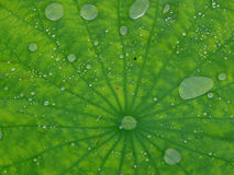 Water drops on lotus leaf Royalty Free Stock Image