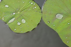 Water drops on lotus leaves Stock Photos