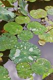 Water drops on lotus leaves Stock Image
