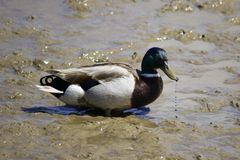 Water drops from mallard duck in mud. Stock Photos