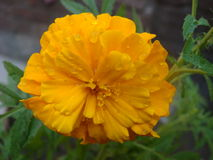 Water drops on marigold flower. Look so pure stock photo