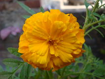 Water drops on marigold flower. Looks very serene stock image