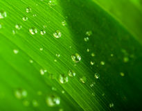 Water Drops On A Green Leaf Royalty Free Stock Image