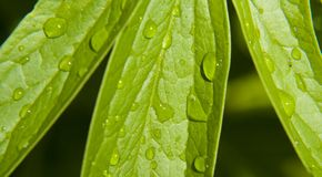 Free Water Drops On Green Leaves Royalty Free Stock Images - 2386469