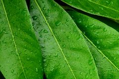Water Drops On Longan Leaves. Stock Photography