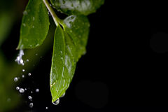 WATER DROPS ON PLANT LEAF Stock Photo