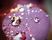 Water Drops On Purple Plant Leaf Stock Photography