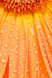 Water drops on orange daisy Stock Photography