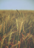 Water drops over ears of wheat on the field - vintage. Royalty Free Stock Photography