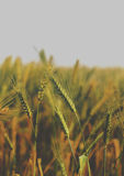 Water drops over golden ears of wheat in morning - vintage Royalty Free Stock Photos