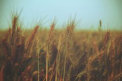 Water drops over wheat on the field - vintage. Royalty Free Stock Photography