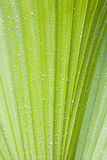 Water drops on palmtree. Water drops on a leaf of a palmtree royalty free stock photography