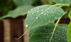 Water Drops on Phycus Leaf. Close up shot of rain drops on phycus (peepal) leaf Stock Photo