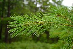Water drops on a pine branch Stock Photos