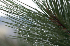 Water Drops on Pine Needles Stock Photography