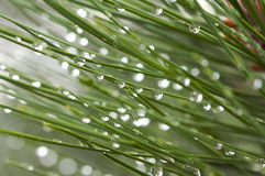 Water Drops on Pine Needles Royalty Free Stock Images