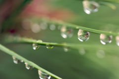Water Drops on Pine Needles Stock Photos