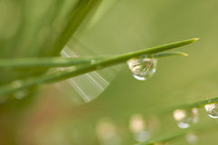 Water Drops on Pine Needles Royalty Free Stock Image
