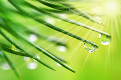 Water drops on pine needles Stock Images