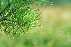Water drops on pine needles Stock Image