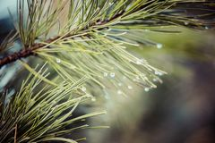 Water drops on pine needles over blurred background. Royalty Free Stock Image