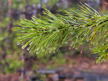 Water drops on pine needles over blurred background.  Stock Images