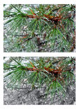 Water drops on pine needles over blurred background. Collage 2 i Royalty Free Stock Photography