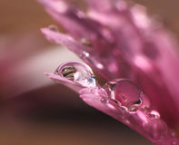 Water drops in pink flower Royalty Free Stock Image