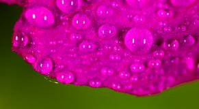 Water drops on a pink flower in nature. close Royalty Free Stock Photos