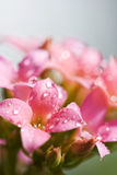 Water drops in the pink flowers Stock Photo
