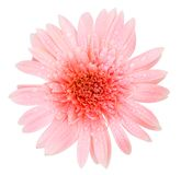 Water drops on pink gerbera flower. Pink gerbera flower isolated on white background Stock Photography