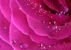 water drops on the pink rose stock photos