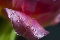 Water drops on pink tulip petal. Close-up Royalty Free Stock Photography