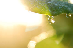 Water drops on plant. Water droplets of plant in the autumn Stock Photography